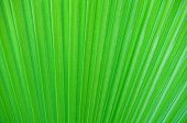 Palm Leaf Close-up, Background.