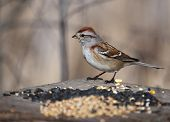 American Tree Sparrow on Bird Feeder