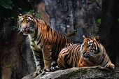 image of tigers  - two brothers Sumatran tigers born at the local zoo - JPG