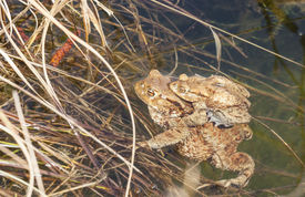 picture of baby frog  - Baby frog sit on the back of his or her mother who sits on a water edge - JPG