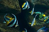 pic of butterfly fish  - school of the butterfly fish  - JPG