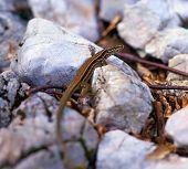 Tiny Brown Lizard
