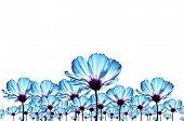 Blue cosmos flower