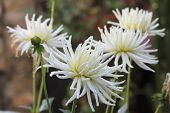 White Dahlia Blooming In The Garden Under Water Drops