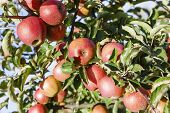 stock photo of orchard  - Ripe apples on the trees in the apple orchard - JPG