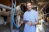 pic of dairy cattle  - Dairy Farmer Using Digital Tablet In Milking Shed - JPG