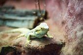 brown lizard on a rock close