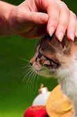 Hand patting kitten