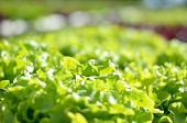 Close Up Organic Hydroponic Salad Vegetable
