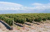 Vineyards Of Mendoza, Argentina