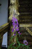 Wild flower Alaska