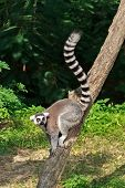 Ring-tailed Lemur,lemur Catta