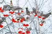 pic of mountain-ash  - Waxwings on the snow-covered branch of a mountain ash