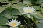 Water Lily flowers and buds