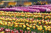Spring Yellow Tulips And Pink Hyacinths (closeup)