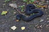 Poisonous Black Adder Basking In The Sun.