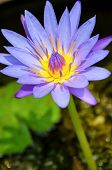 Purple Lotus Flower ( Nymphaea Nouchali )