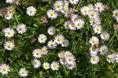 Camomile Flowers Background, Top View