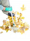 Closeup of gardener sweeping pile of dead fall leaves with fan rake, shot from above on white background