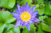 A pink water lily flower out of the water on a pond surrounded by lily pads in soft light