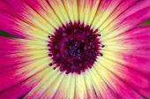 Chrysanthemum / Mini Daisy