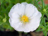 White Portulaca Close-up