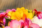 Flowers fresia