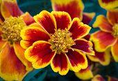 Red And Yellow Marigold Flower