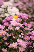 Beautiful Chrysanthemum Flower Blooming