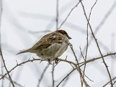 Single Sparrow Sitting On Leafless Thorny Twig
