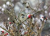 Sparrow Sitting On Leafless Twigs Of Wild Rose