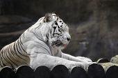 Resting white tiger