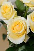 Beautiful Yellow Roses  Closeup