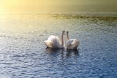 Swans Looking At Sunset