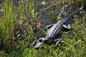 foto of swamps  - The alligator resting before the hunt in the swamp - JPG