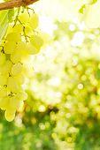Close-up Of Grape Bunch