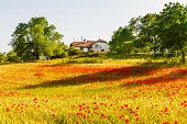 Beautiful poppy field on sunset