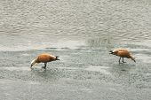 Two Geese On Ice