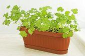 Parsley in flowerpot