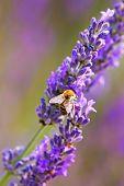 Close-up Of Fresh Lavender