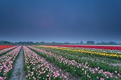 Colorful Tulip Field In Spring