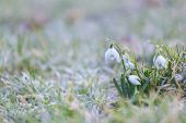 Snowdrop Flower On The Frosty Grass