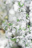 Fruit tree spring flowers in early bloom