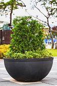 Bonsai Pine Tree In Ceramic Pot