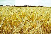 Triticum wheat field