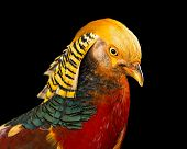 picture of pheasant  - The golden pheasant on a black background - JPG