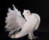 Proud white pigeon