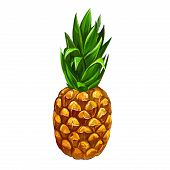 fruit pineapple  vector illustration  hand drawn  painted