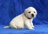 Proud Yellow Labrador Puppy Siting On The Blue Background