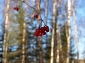 Viburnum berries on a branch in winter